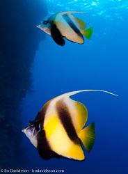 BD-090407-St-Johns-4072912-Heniochus-intermedius.-Steindachner.-1893-[Red-sea-bannerfish].jpg